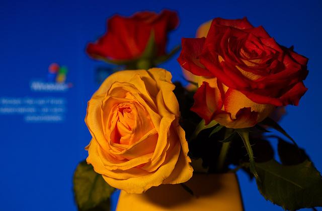 Rose 17/50 : office beauties