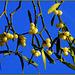 Gui - Mistletoe - Mistel - Muérdago - Vischio