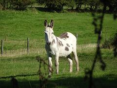 Donkey, Garn Wen, Upper Cwmbran 31 August 2017