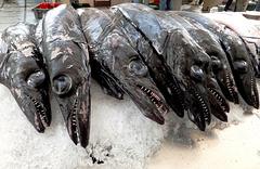 Schwarze Degenfisch (Aphanopus carbo). ©UdoSm