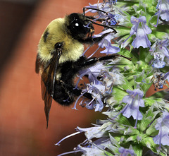 hyssop and bee-a--DSC 1149