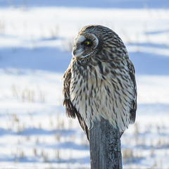 Short-eared Owl / Asio flammeus