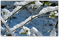 Brambles in Winter