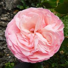 Rose épanouie
