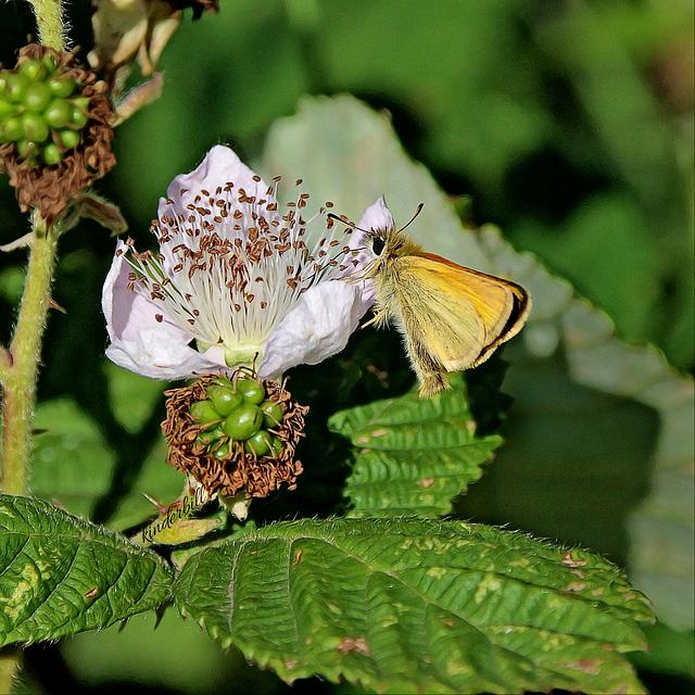 Essex Skipper (Butterfly)