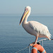 Namibia, Walvis Bay, Pelican Poses for a Photo