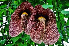 Die Gespensterblume - The Ghost Flower
