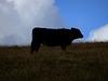 Cow, Blaen Bran, Upper Cwmbran 31 August 2017