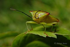 Acanthosoma haemorrhoidale (Hawthorn Shieldbug)