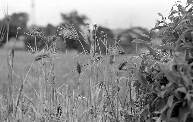 Left-over in the wheat field