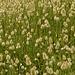 Prairie habillée en plumetis.