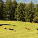 Mutterkühe mit ihren Kälbchen