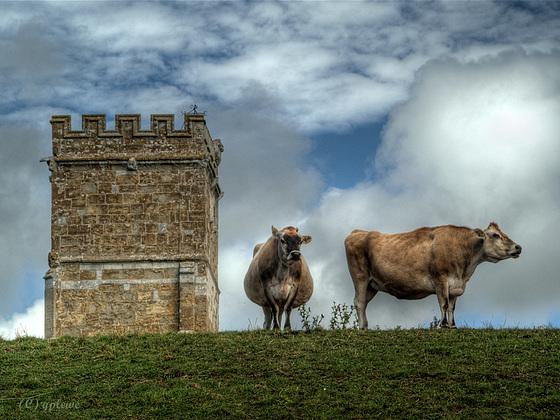 Cows of Abbotsbury