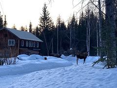 guard moose