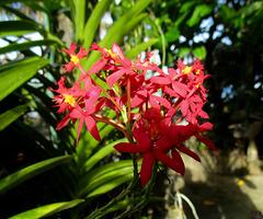 Crucifix Orchid – Epidendrum sp.