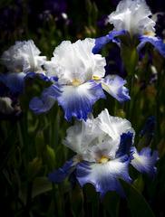 Blur Bearded Irises