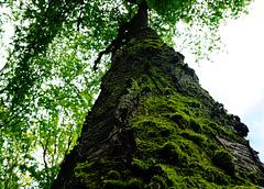 Ein Kirschbaum Methusalem - A cherry tree Methuselah