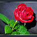 A Brilliant Rose for Sunday... ©UdoSm
