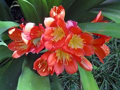 Clivea flowers
