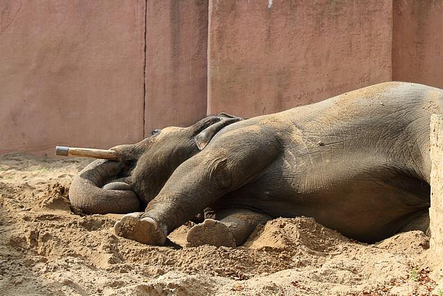 Elefantenbulle Nikolai (Zoo Hannover)