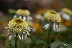 198/366: Puff-Topped Creamy Echinacea