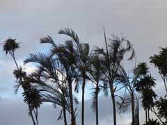 Palmeras de San José de Costa Rica