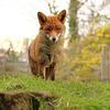 Superior Fox