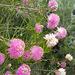 Melaleuca species