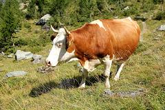 Glückliche und zufriedene Kuh (noch mit Hörner)