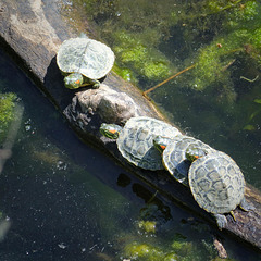 Four young turtles