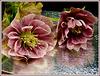 **   Héllebore ; ou rose de noël **