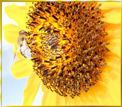 Blütenkorb der Sonnenblume... ©UdoSm
