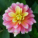 Flor de dos colores