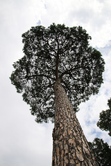 The mighty pine