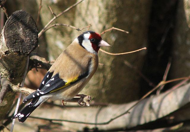 Chardonneret élégant  (Carduelis carduelis) (European Goldfinch)