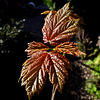 Sunlight on a Sycamore Leaf