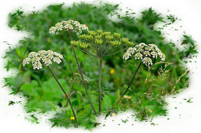 ~Queen Anne's Lace~