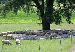 Schafe drängen sich im Schatten des Baumes zusammen