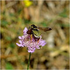 Eristale des Fleurs ( Myathropa Florea ) ...