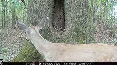 Whitetail deer visiting hollow tree