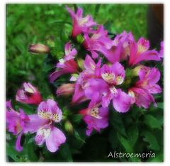 Alstroemeria - East Blatchington June 2021 - a Photoshop paint effect