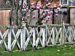 Magnolia Behind Fence