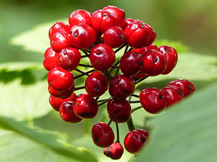 Baneberry, red berries