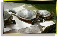 Südliche Zierschildkröte (Chrysemys picta dorsalis) ©UdoSm
