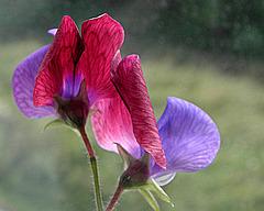 Lathyrus Tricolor