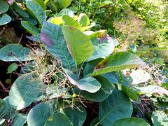 Perückenstrauch (Cotinus coggygria). ©UdoSm