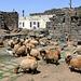BOSRA (Dar'a). Syria. Rebaño de ovejas en las ruinas romanas.