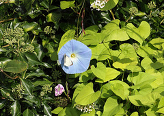 Morning glory (Heavenly blue) flower and Large White (Pieris brassicae) butterfly