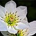 Klematisblüten