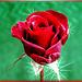 A 'brilliant' rose. I wish you all a wonderful weekend... ©UdoSm